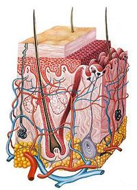 Строение и значение кожи