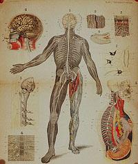 Строение нервной системы и ее свойства