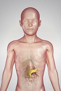Роль поджелудочной железы, печени и кишечных желез в пищеварении