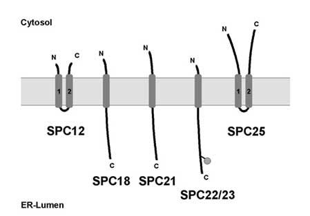 Сигнальная пептидаза