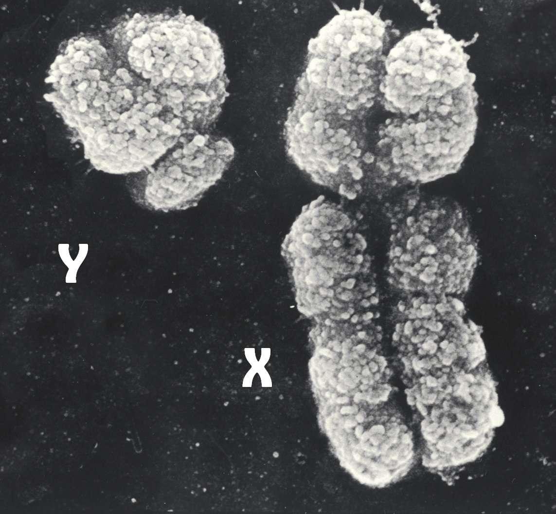 X хромосома