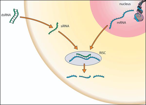 Малые интерферирующие РНК