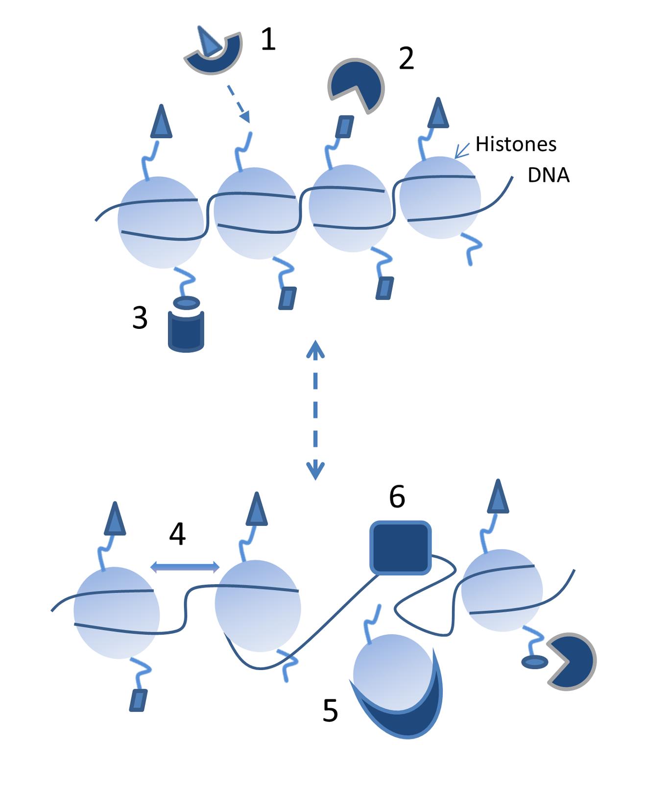 Ремоделирования хроматина