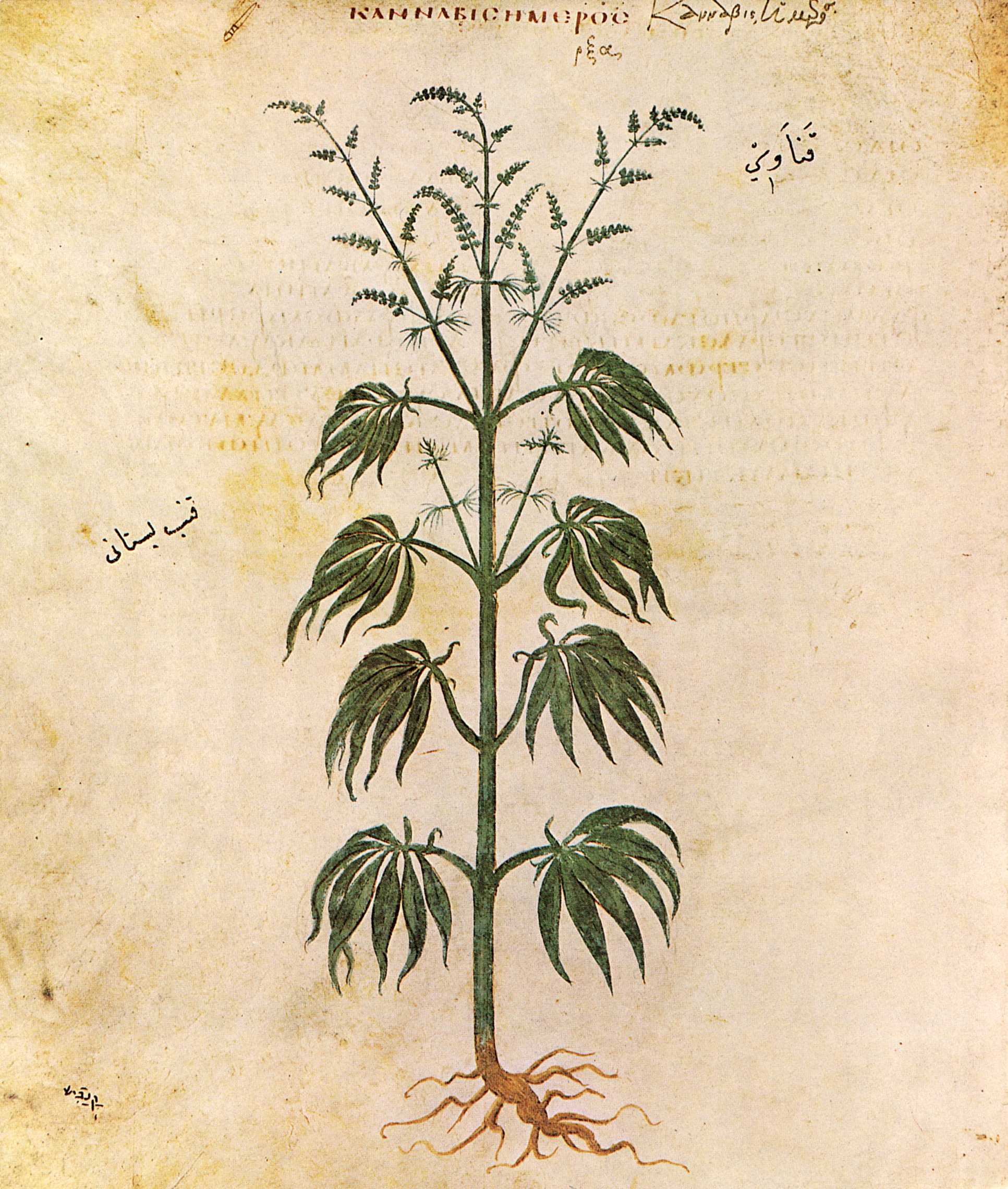 ancient history shows medical uses of marijuana Uses for medical marijuana medical marijuana may help ease pain, nausea, and loss of appetite in people who have cancer and hiv there's not a lot of research on these areas yet, though.