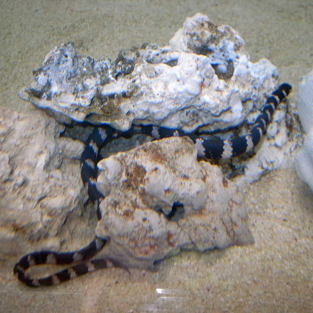Черепахоголова морская змея