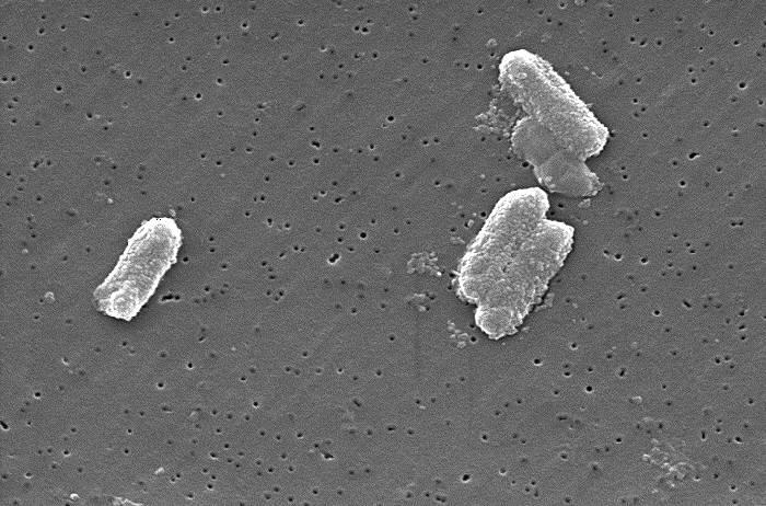 Протеобактерий