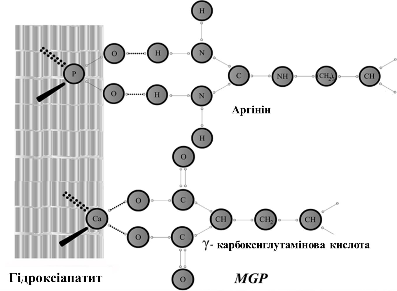 Матриксный Gla протеин