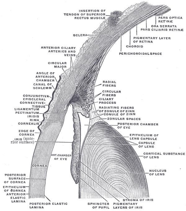 Цилиарная мышцу