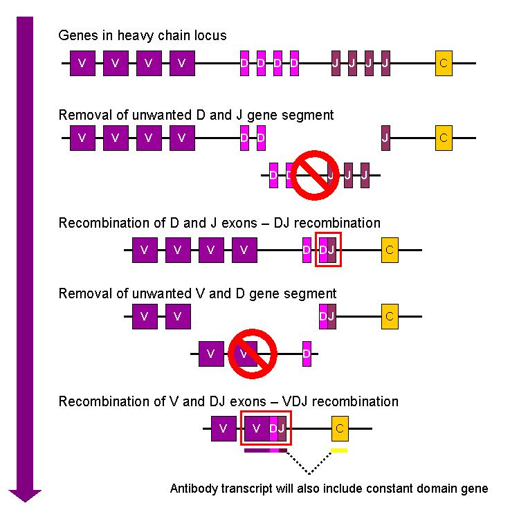 V (D) J-рекомбинация