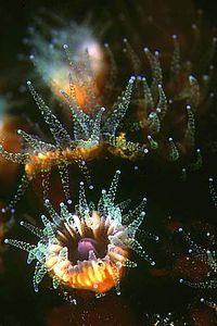 Caryophylliidae
