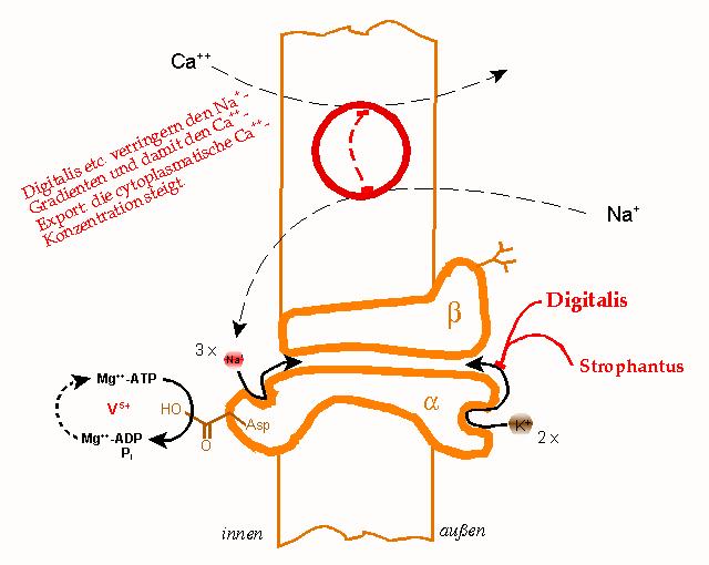 Натрий-калиевый насос
