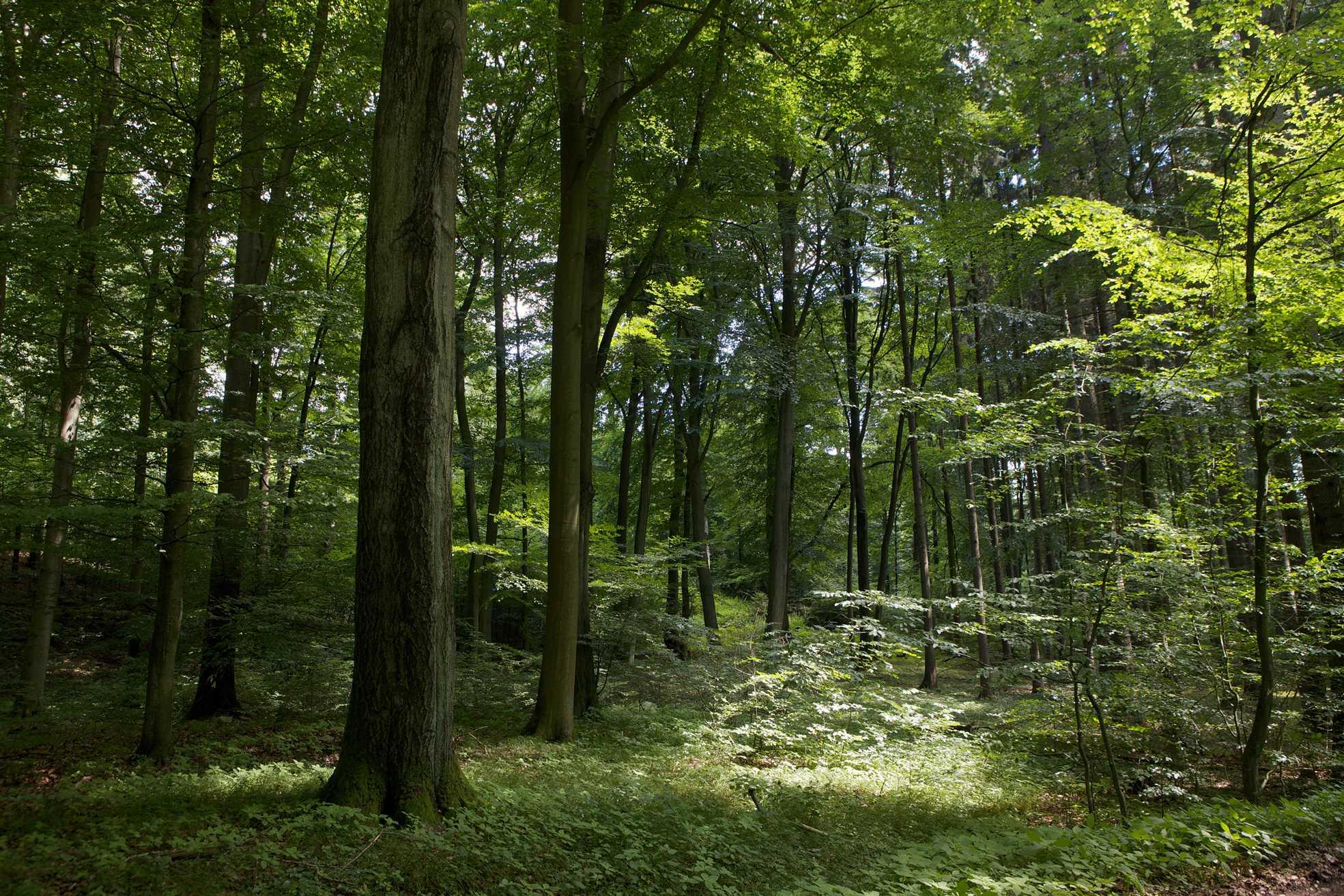 Бук лесной