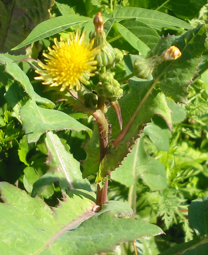Желтый осот огородный