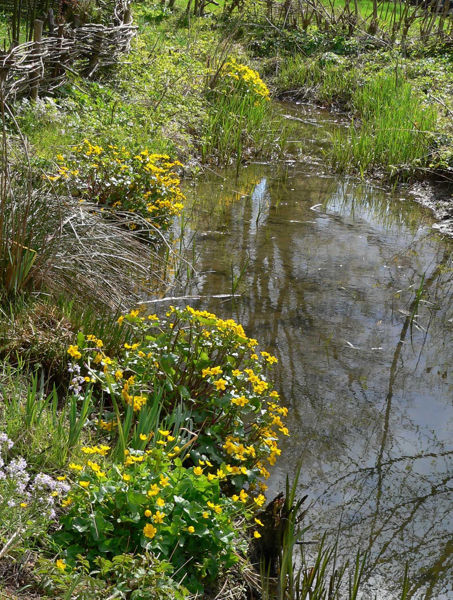 Калужница болотная
