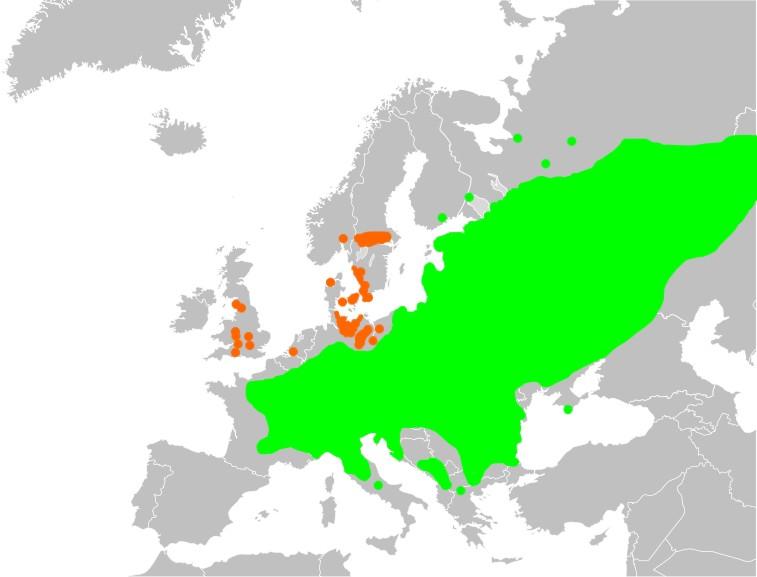 Копытень европейский
