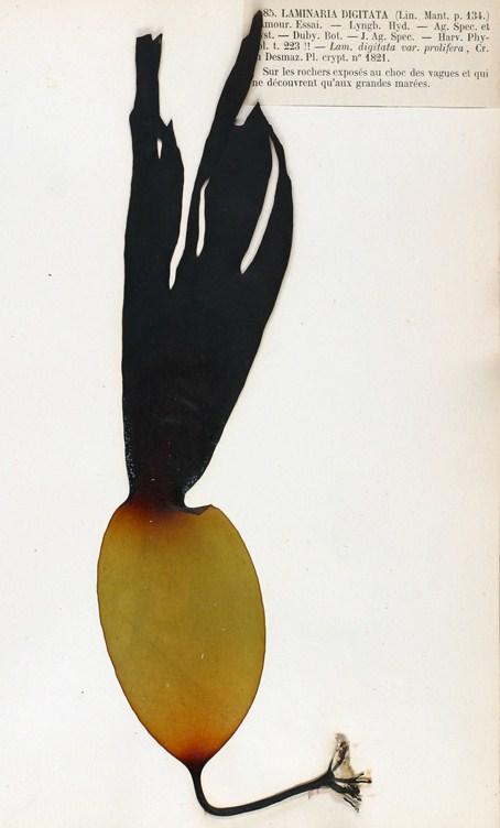 Ламинария пальчатая