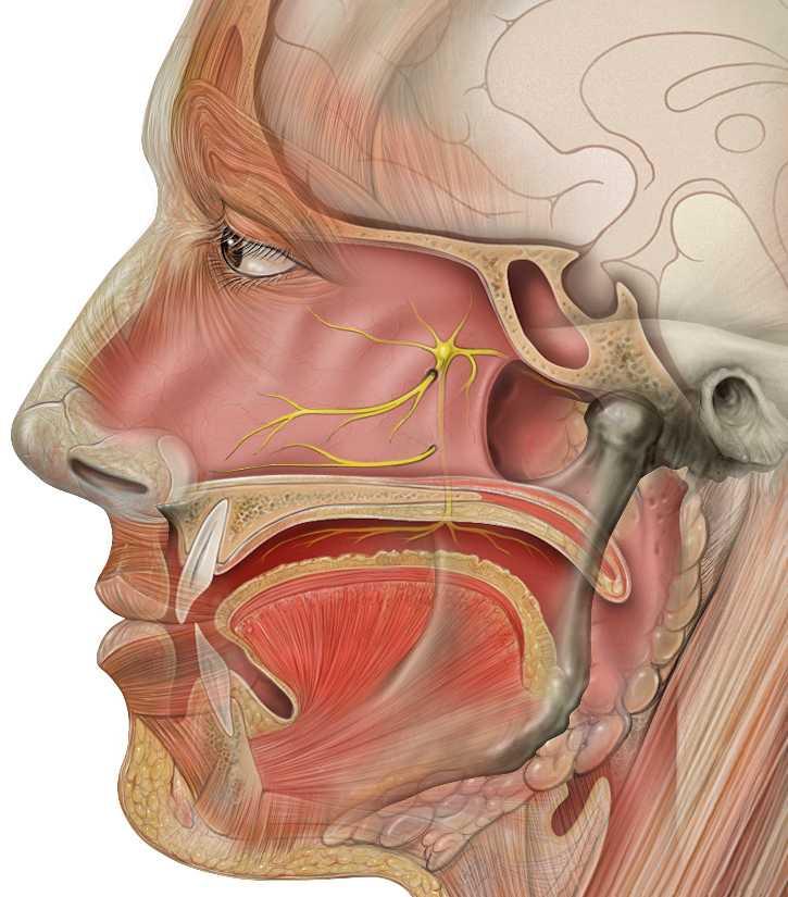 Большой каменистый нерв