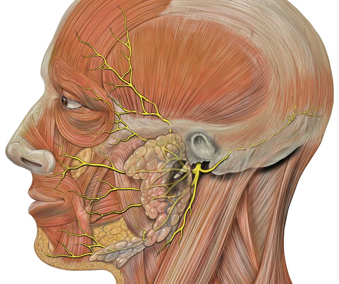 Facial nerve course animation