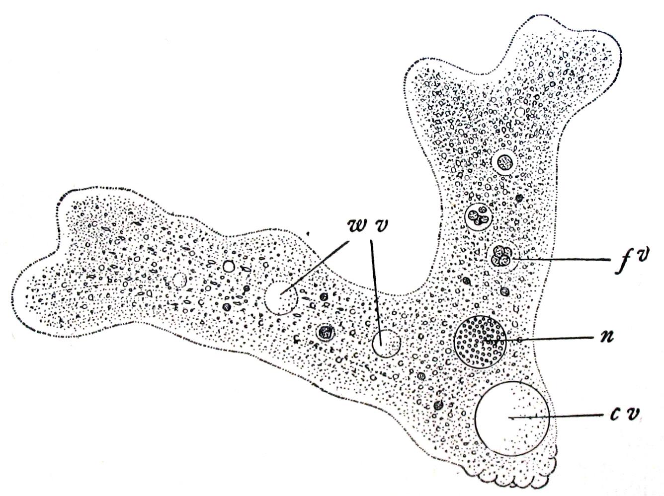 Amoebidae