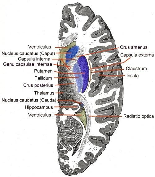 Внутренняя капсула