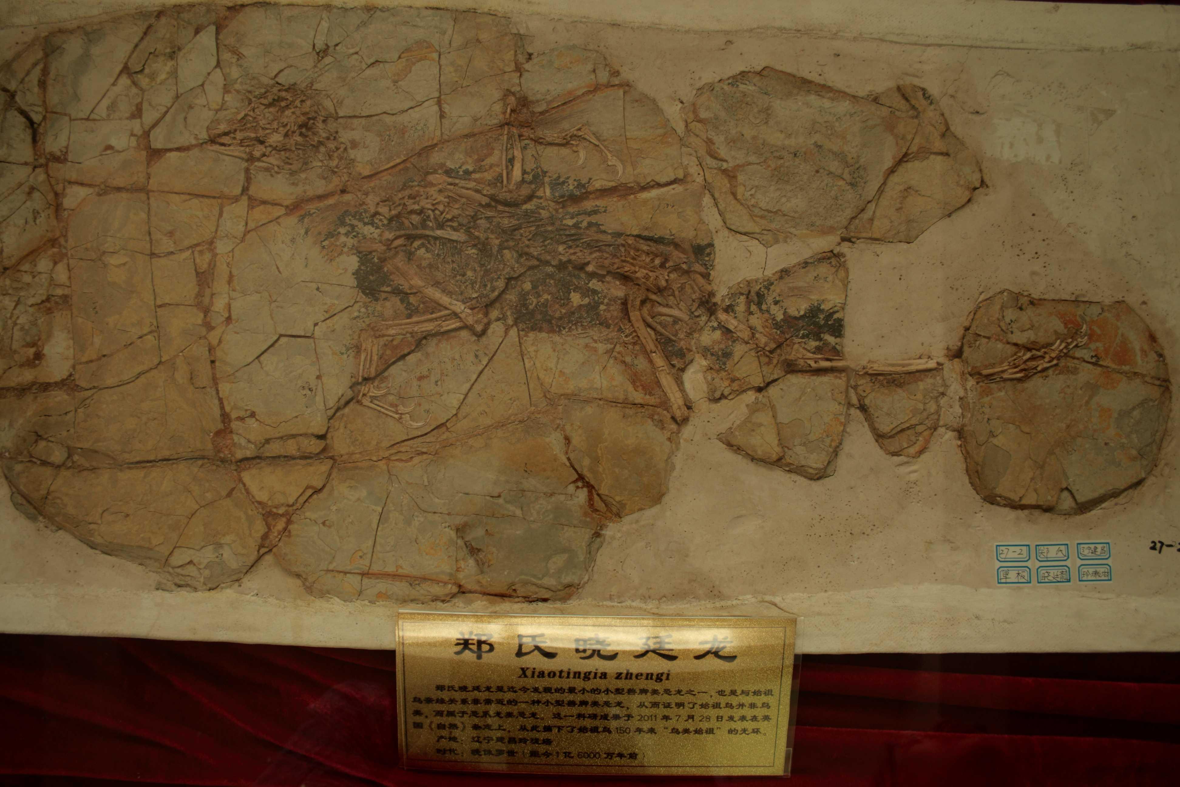 Xiaotingia