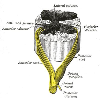 Чувствительный узел спинномозгового нерва