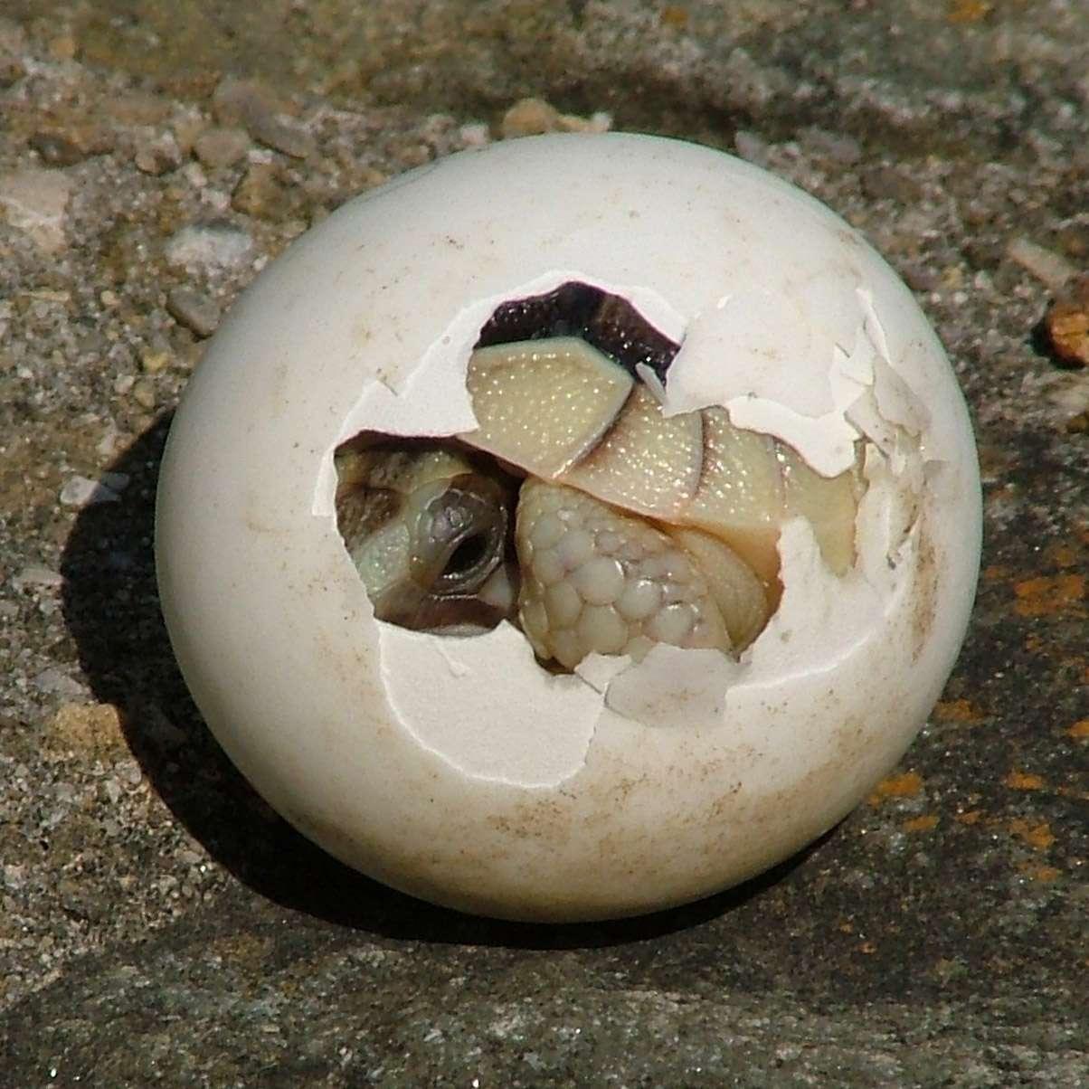 Яйцекладущие животные