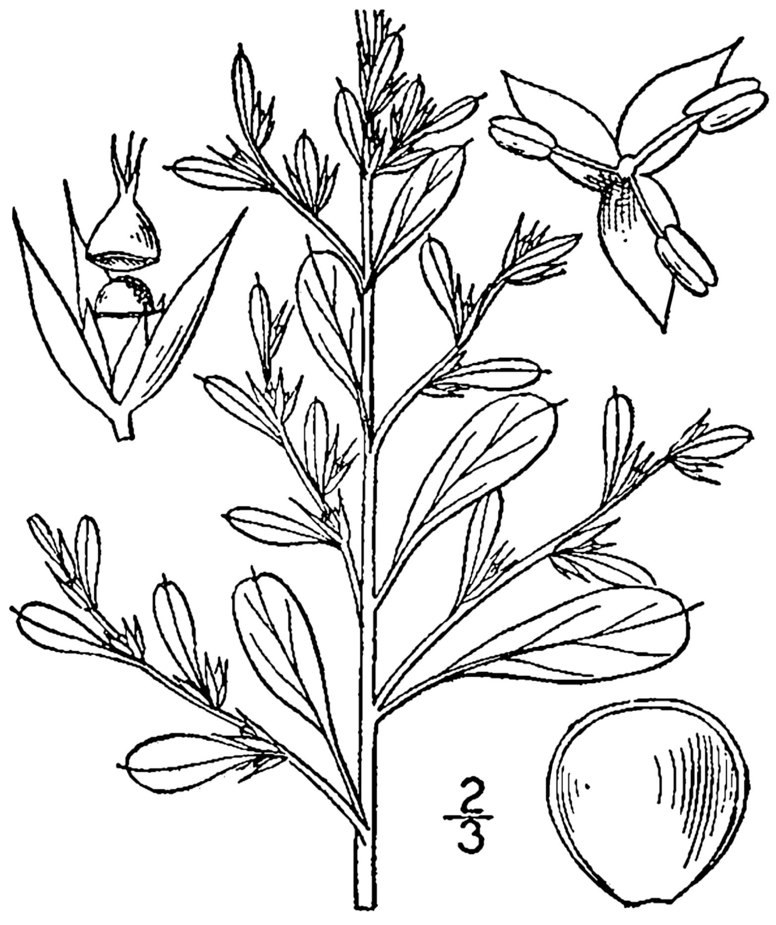 Щирица белая