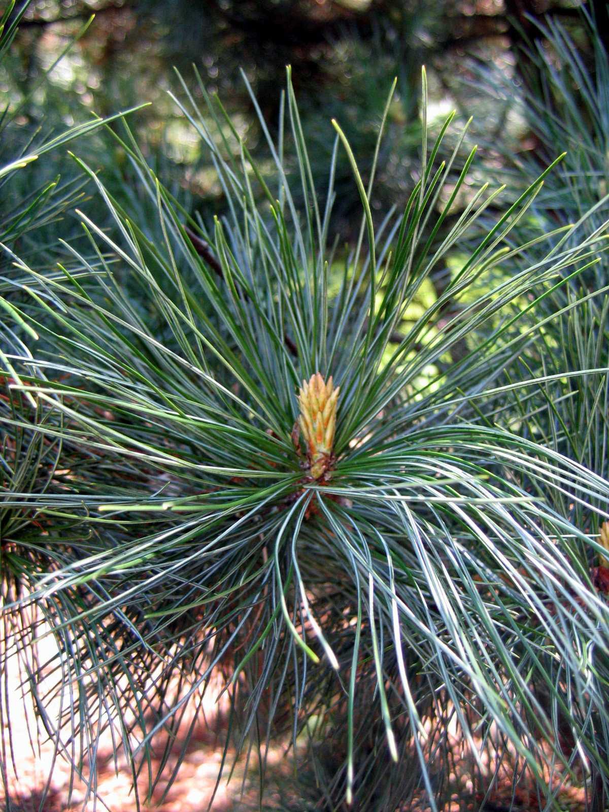 Pinus koraiensis