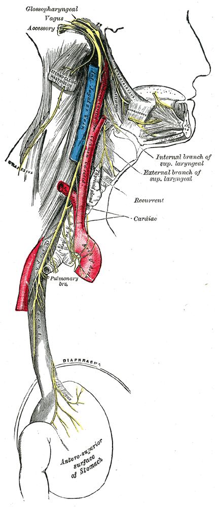 Верхний гортанный нерв