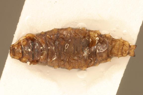 Helaeomyia petrolei