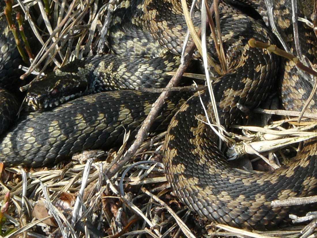 змея гадюка фото в украине огромном разнообразии огурцов