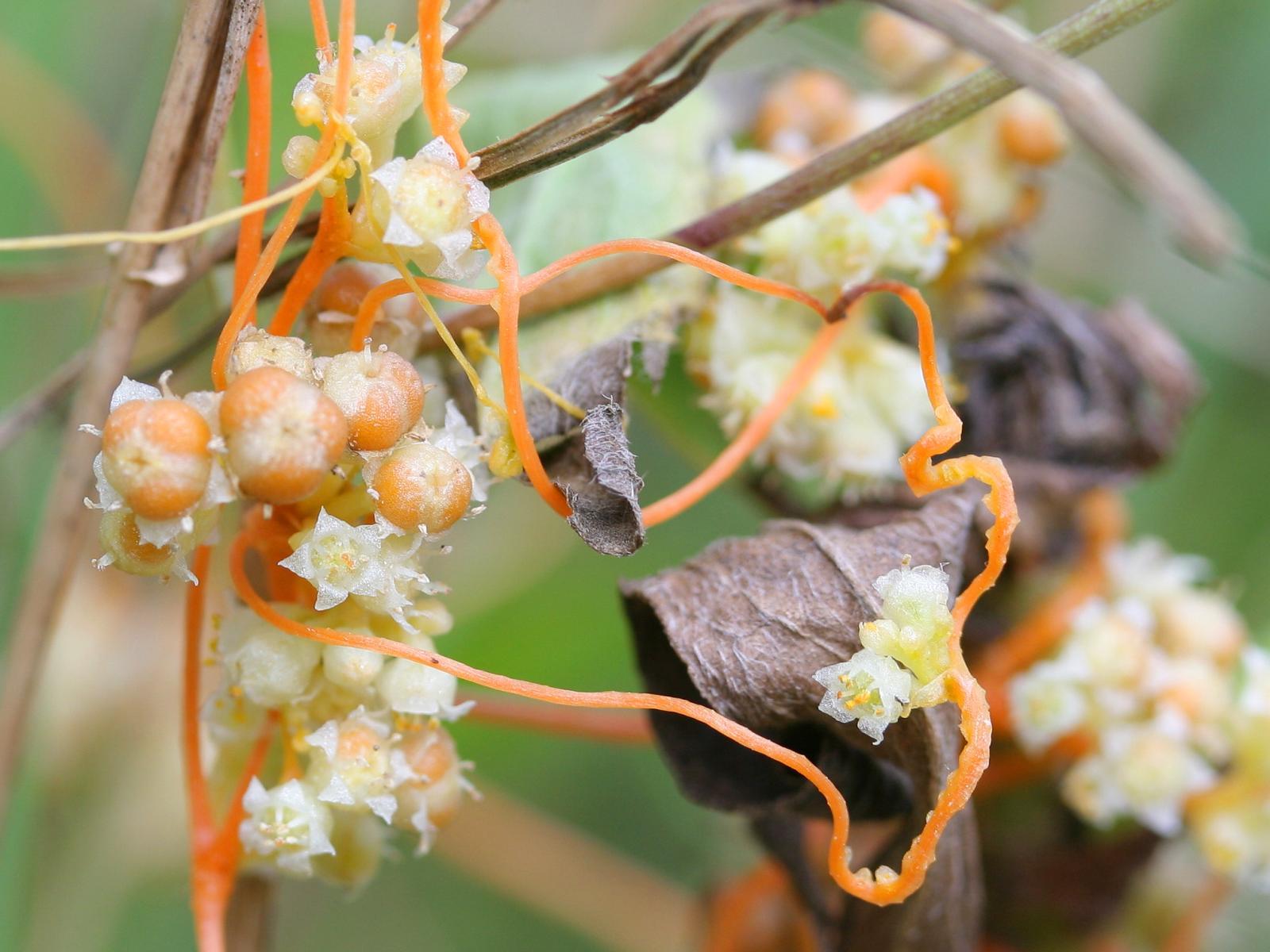 Растения паразиты картинки повилика