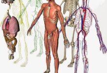 Photo of Анатомия человека: системы организма
